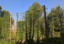 La raccolta del luppolo in Val Padana